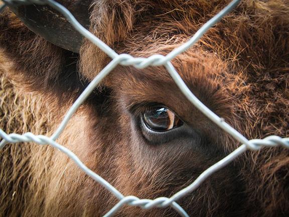 Убой скота на мясо