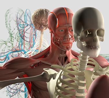 строение человека, анатомия, скелет, мышцы, мышечный корсет, внутренности, кости