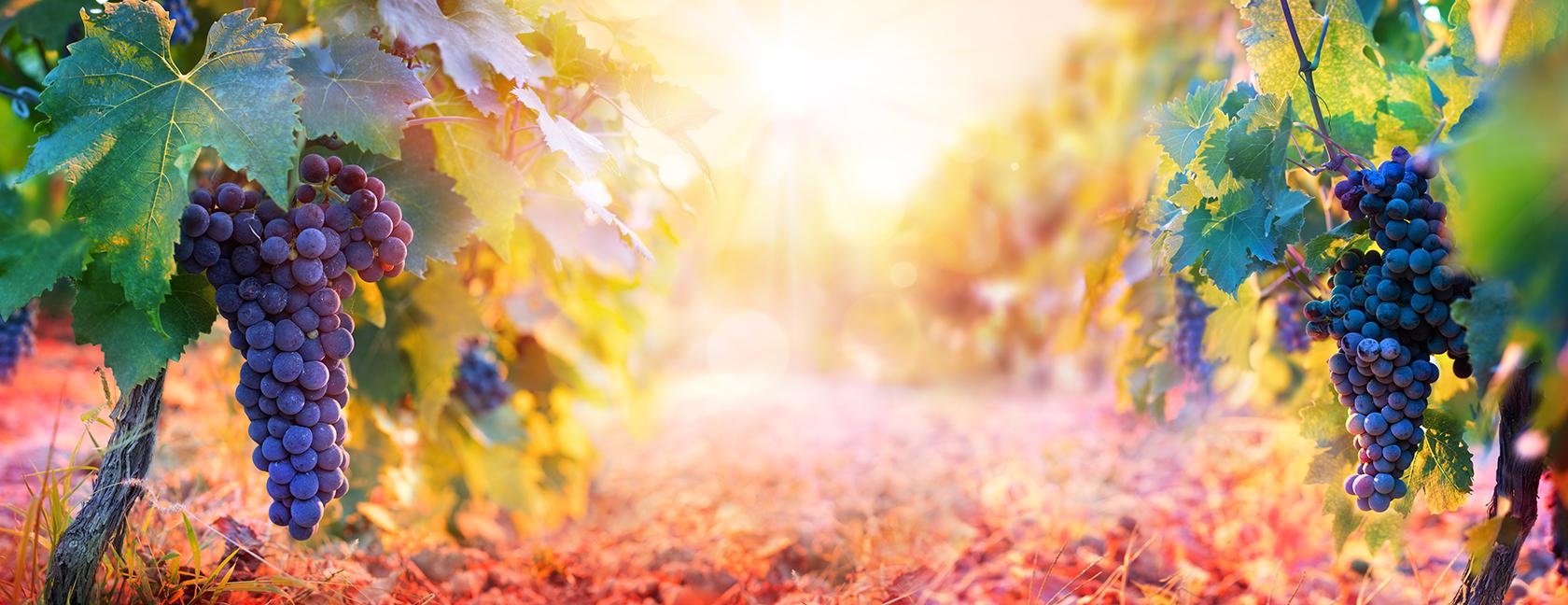 Виноград состав и полезные свойства