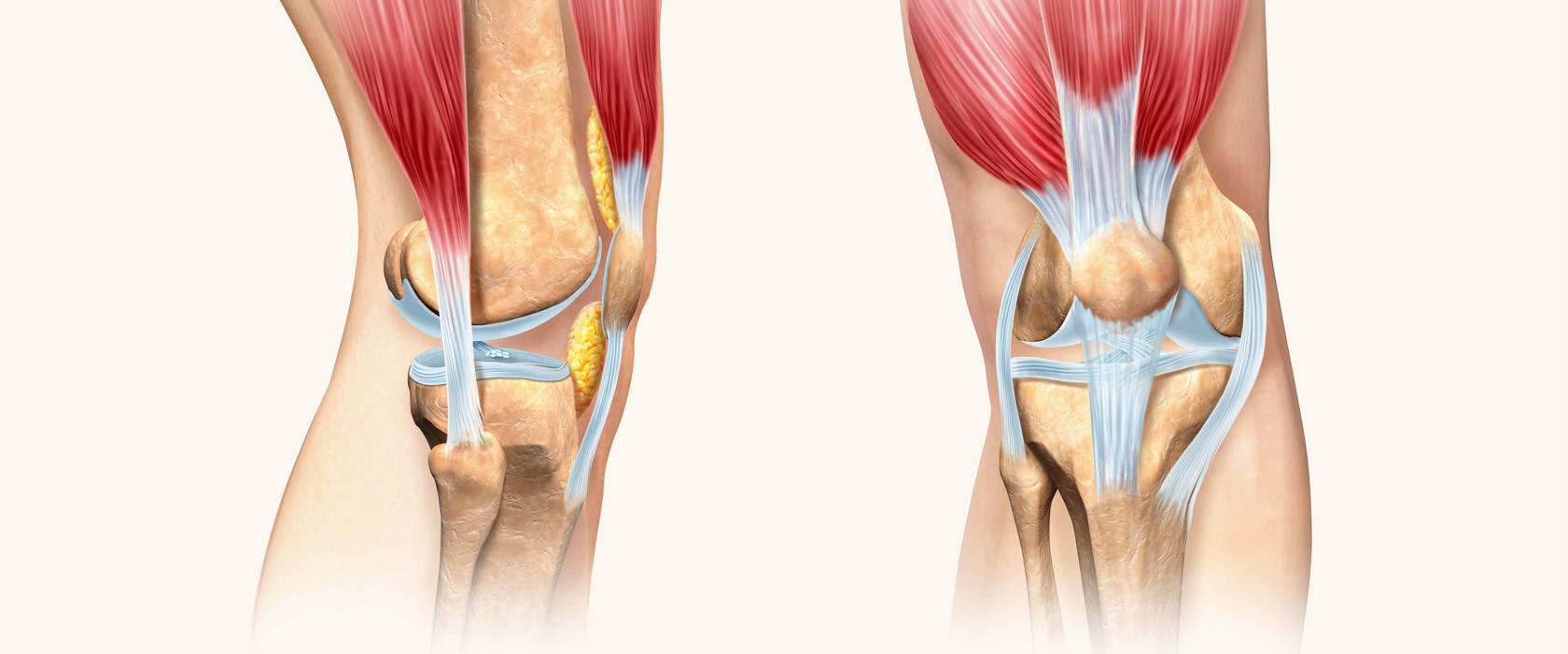 Коленный сустав: анатомия и физиология. Кости, связки, мышцы