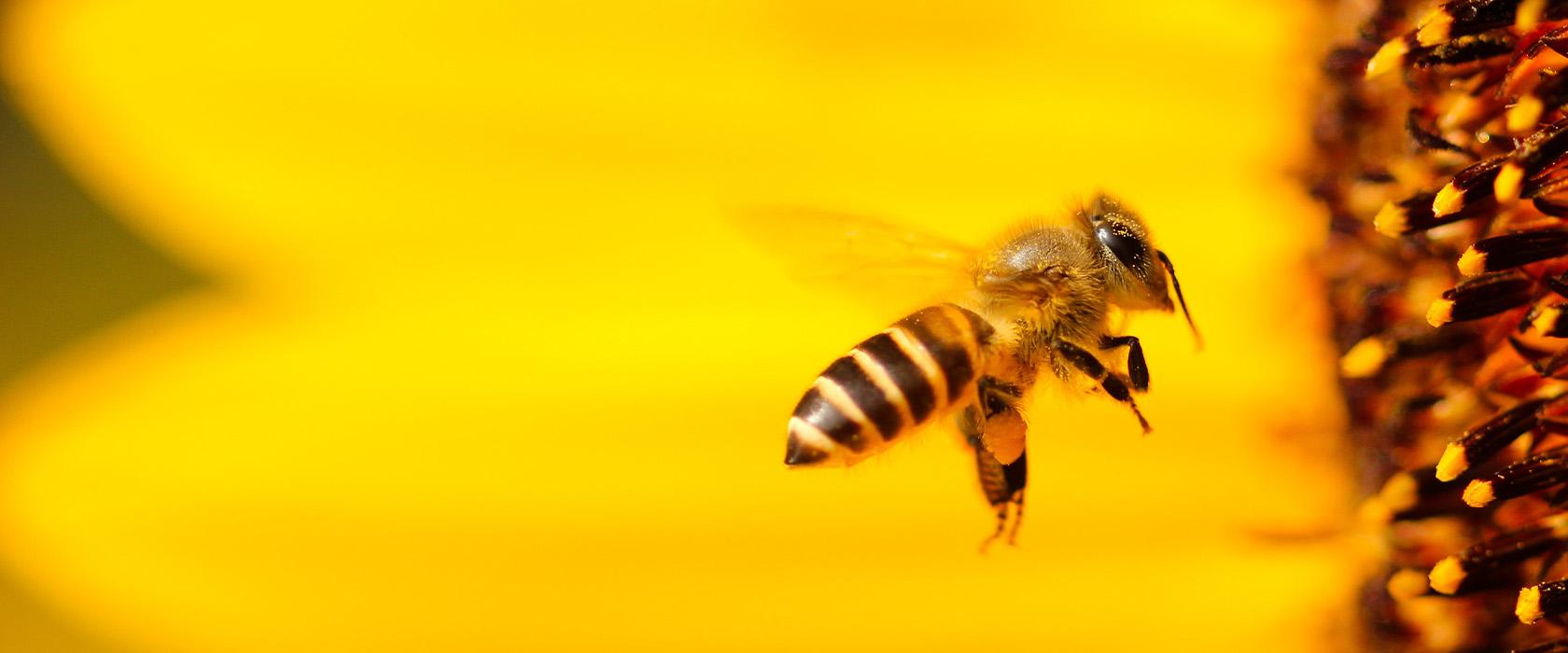 Мед и перга лечебные свойства