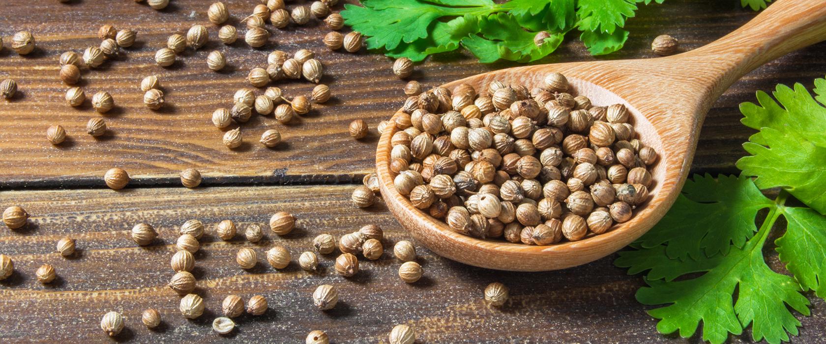 Кинза кориандр полезные свойства и противопоказания для здоровья человека