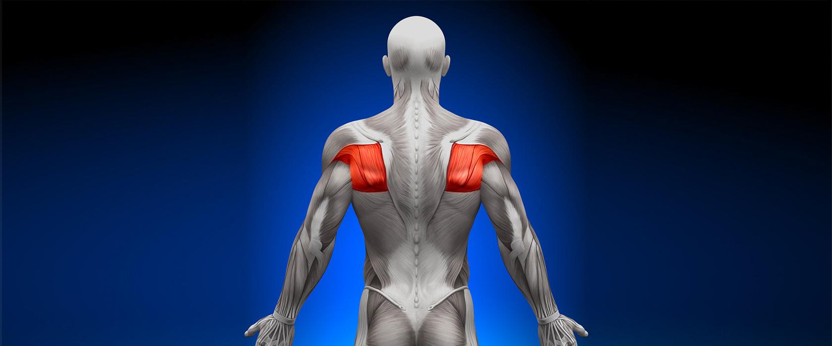 Реферат на тему мышцы спины человека 2493