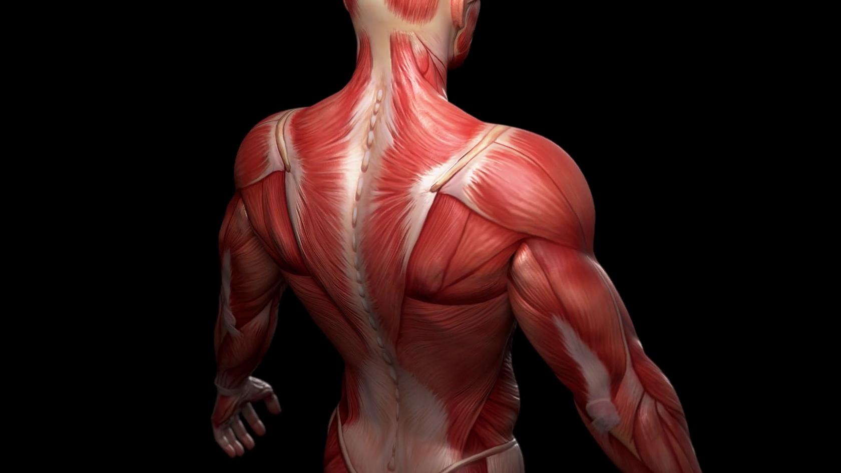 Мышцы спины анатомия реферат 9587