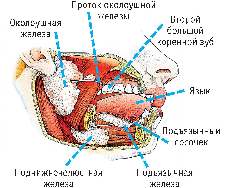 Реферат анатомия и физиология органов пищеварения 5485