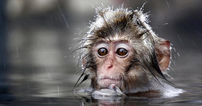 Эффект сотой обезьяны. Путь к эволюции или деградации?