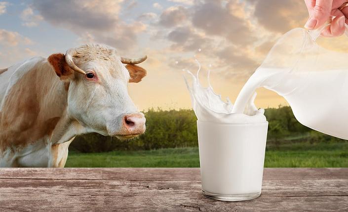 Корова, молоко