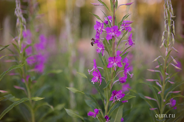Иван-чай, кипрей, поле с цветами