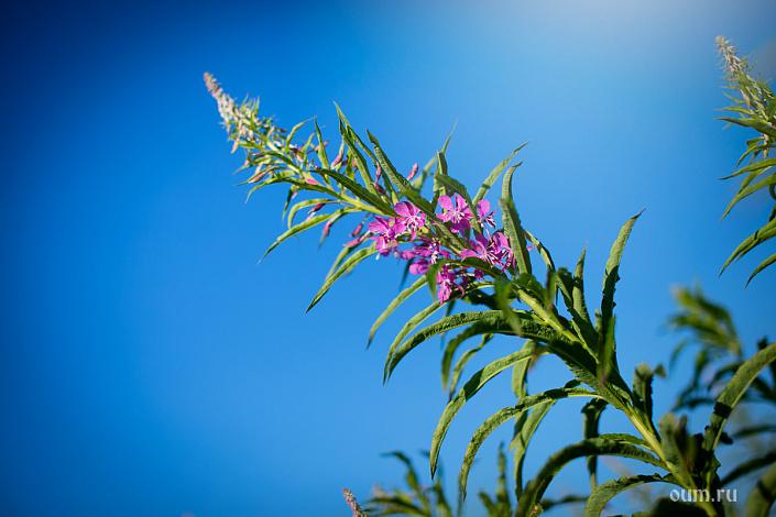 Иван-чай, кипрей, цветок, фиолетовый цветок