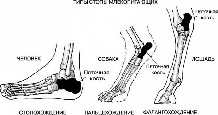 Как называются части ступни ноги