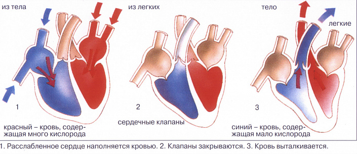 Анатомия сердца человека. Просто и доступно