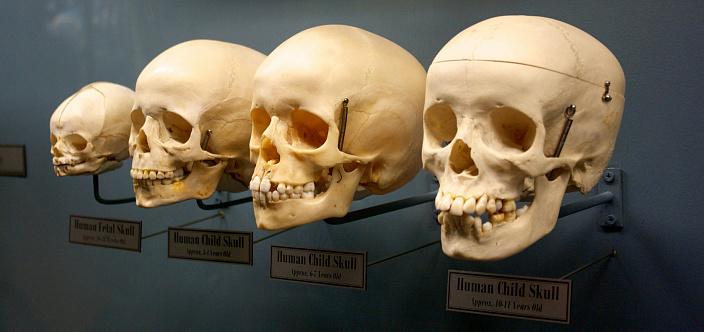 Кости черепа: анатомия. Простым и доступным языком