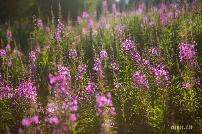 Иван-чай, поле с иван саем, кипрей, поле с цветами, русское поле