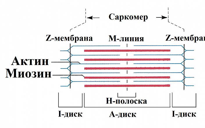 Анатомия мышц человека: простым языком. От чего зависит сила человека