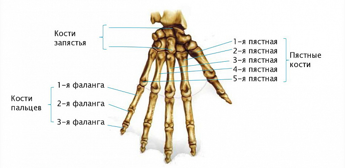 Анатомия руки человека: просто и понятно. Кости руки человека